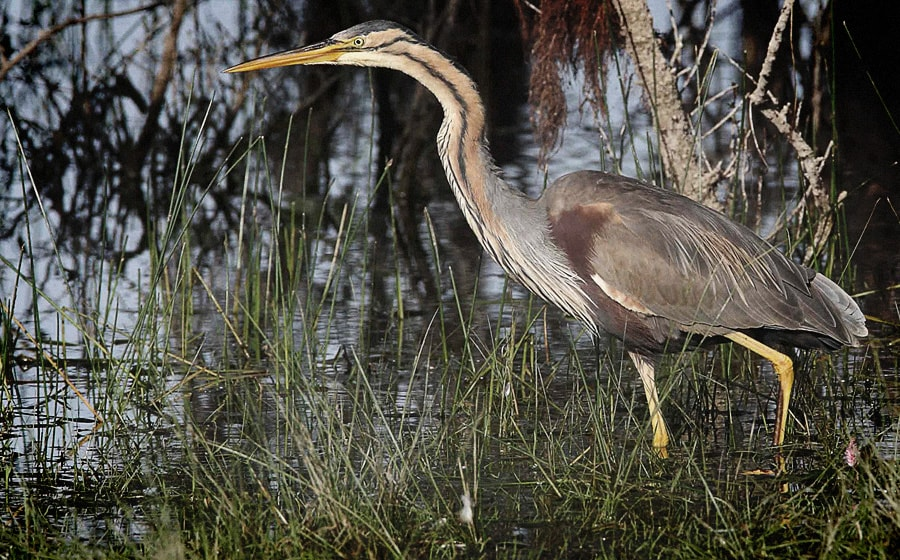 La Garza Imperial, la reína de las garzas || The Purple Heron, queen of the herons